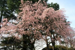 旧古河庭園の桜 画像(2/3)