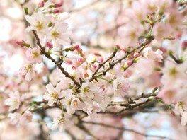 旧古河庭園の桜 画像(3/3)