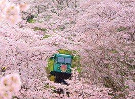 柴田町船岡城址公園の桜 画像(2/4)