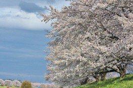 柴田町船岡城址公園の桜 画像(3/4)