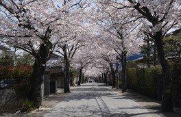 桜の径・噴水公園の桜 画像(2/3)