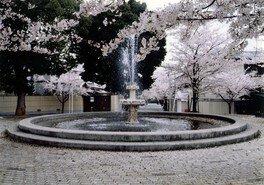 桜の径・噴水公園の桜 画像(3/3)