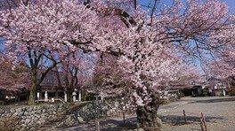 妙了寺の桜 画像(2/2)