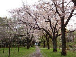 武蔵野公園の桜 画像(2/5)