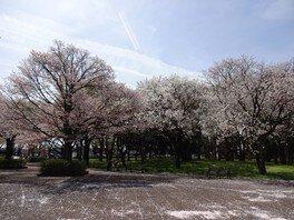 武蔵野公園の桜 画像(3/5)