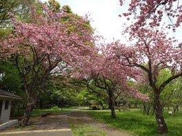 武蔵野公園の桜 画像(4/5)