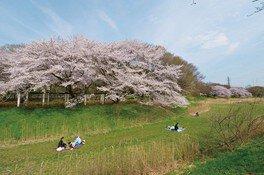 武蔵野公園の桜 画像(5/5)