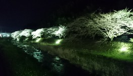 千歳川沿いの桜 画像(2/2)