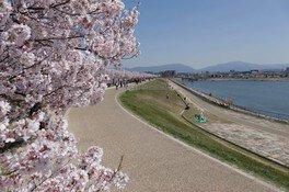 狭山池公園の桜 画像(2/5)