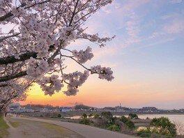 狭山池公園の桜 画像(4/5)