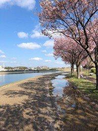 狭山池公園の桜 画像(5/5)