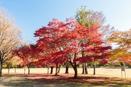 小金井公園の紅葉 画像(2/3)