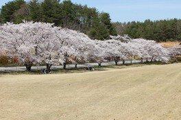能登町柳田植物公園の桜 画像(2/2)