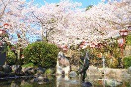 朝日山公園の桜 画像(3/3)