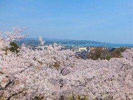 朝日山公園の桜 画像(2/3)