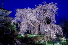 浄専寺のシダレザクラ 画像(2/2)