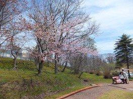 春採公園の桜 画像(2/4)