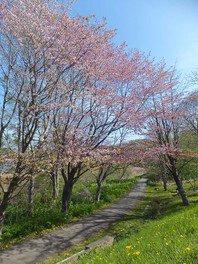 春採公園の桜 画像(3/4)