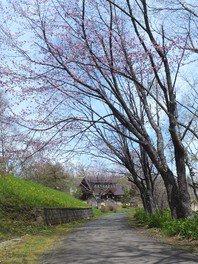 春採公園の桜 画像(4/4)