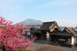 名勝 仙巌園の桜 画像(2/3)