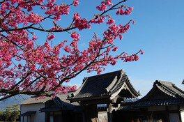名勝 仙巌園の桜 画像(3/3)