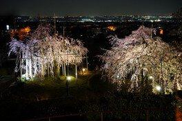 宇治市植物公園の桜 画像(4/5)