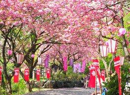 倶利伽羅県定公園の桜 画像(2/2)
