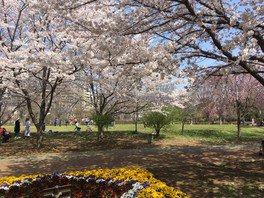 西東京いこいの森公園の桜 画像(2/2)