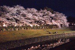 南楽園(外堀)の桜 画像(3/3)