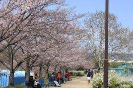 伊丹瑞ケ池公園の桜 画像(2/3)