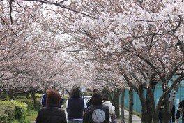 伊丹瑞ケ池公園の桜 画像(3/3)