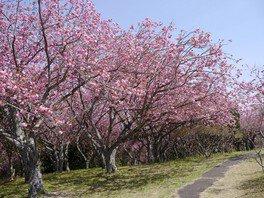 静峰ふるさと公園の桜 画像(2/4)