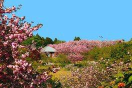 静峰ふるさと公園の桜 画像(3/4)
