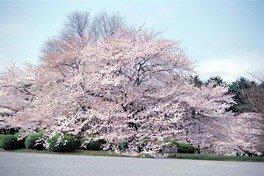 新宿御苑の桜 画像(2/5)
