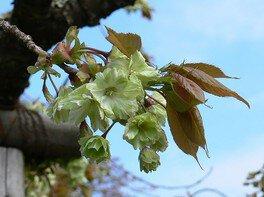 珍しい緑の桜 御衣黄(ギョイコウ)
