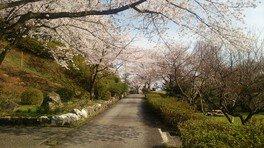 城ケ山公園の桜 画像(3/3)