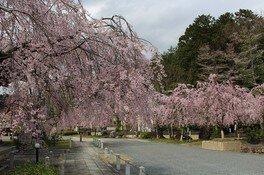 満開の桜園 妙満寺の桜 画像(2/4)