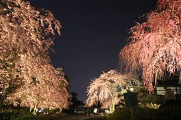 ライトアップ期間中は幻想的な夜桜の姿も楽しめる 妙満寺の桜 画像(3/4)