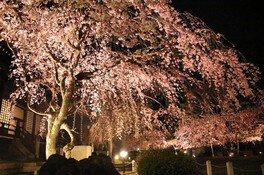大桜のライトアップ