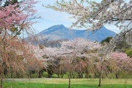 オニウシ公園の桜 画像(2/3)