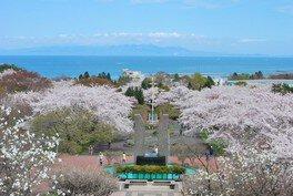 オニウシ公園の桜 画像(3/3)