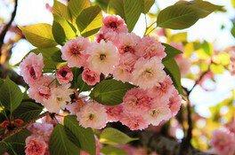 大村公園(大村神社)の桜 画像(2/5)