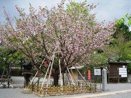 大村公園(大村神社)の桜 画像(3/5)