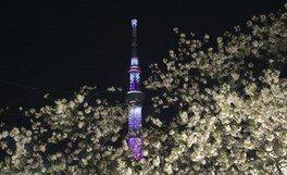 隅田公園の桜 画像(2/5)