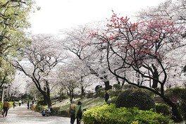隅田公園の桜 画像(3/5)