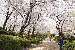 隅田公園の桜 画像(4/5)