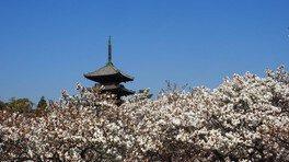 御室(仁和寺)の桜 画像(2/2)