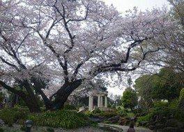 港の見える丘公園の桜 画像(2/2)