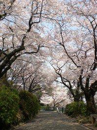 掃部山公園の桜 画像(2/3)
