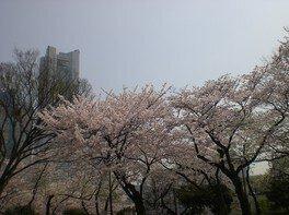 掃部山公園の桜 画像(3/3)